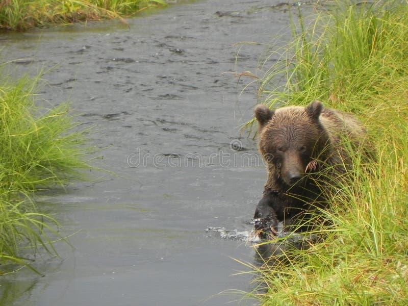 Grizzly die zalm zoeken royalty-vrije stock fotografie