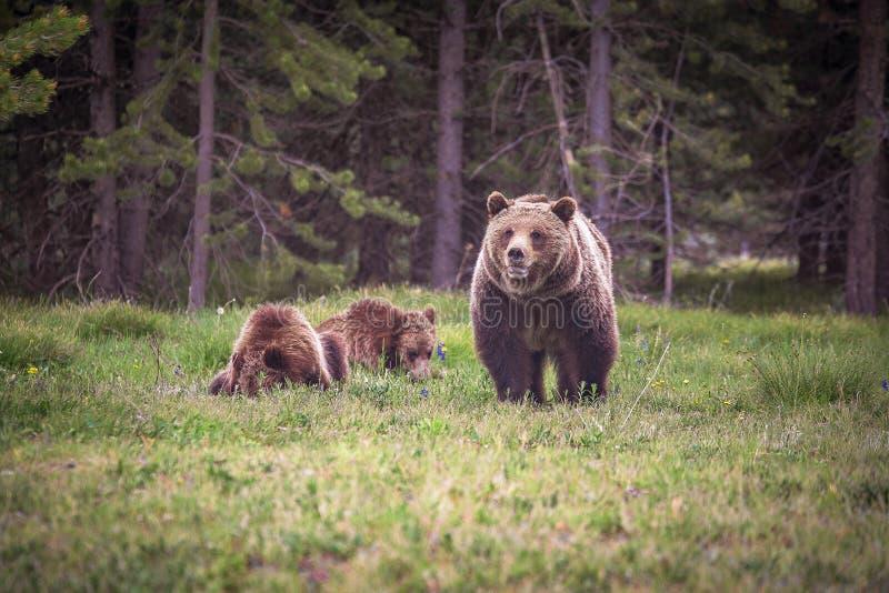 Grizzly en haar welpen in het Nationale Park van Yellowstone stock fotografie