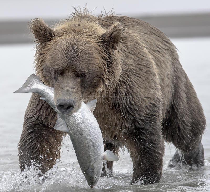 Grizzly en zalm royalty-vrije stock afbeelding