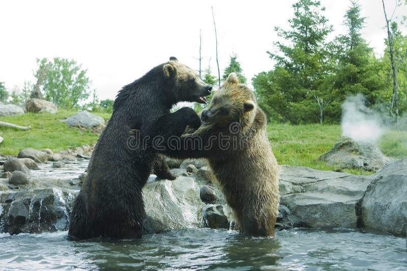 grizzly för björnbrownslagsmål arkivfoton