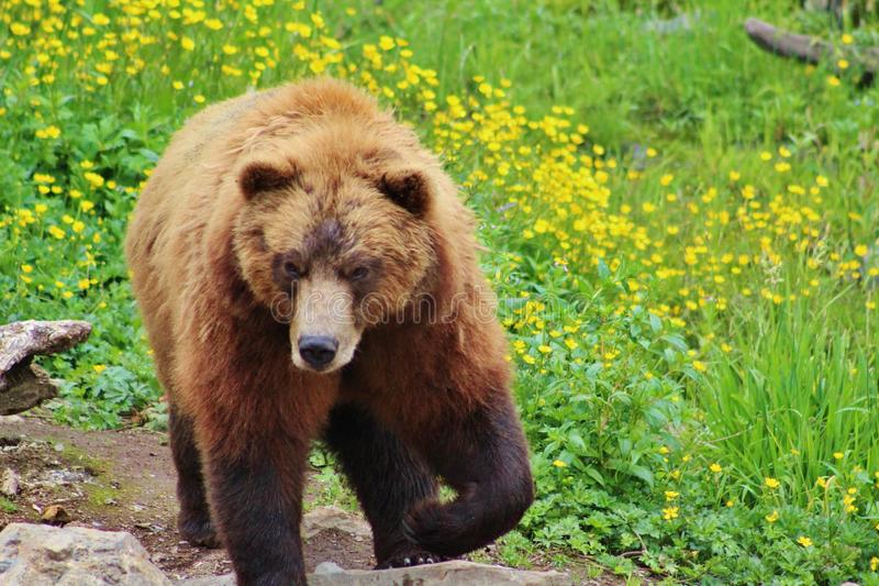 Grizzly in flowers royalty free stock images
