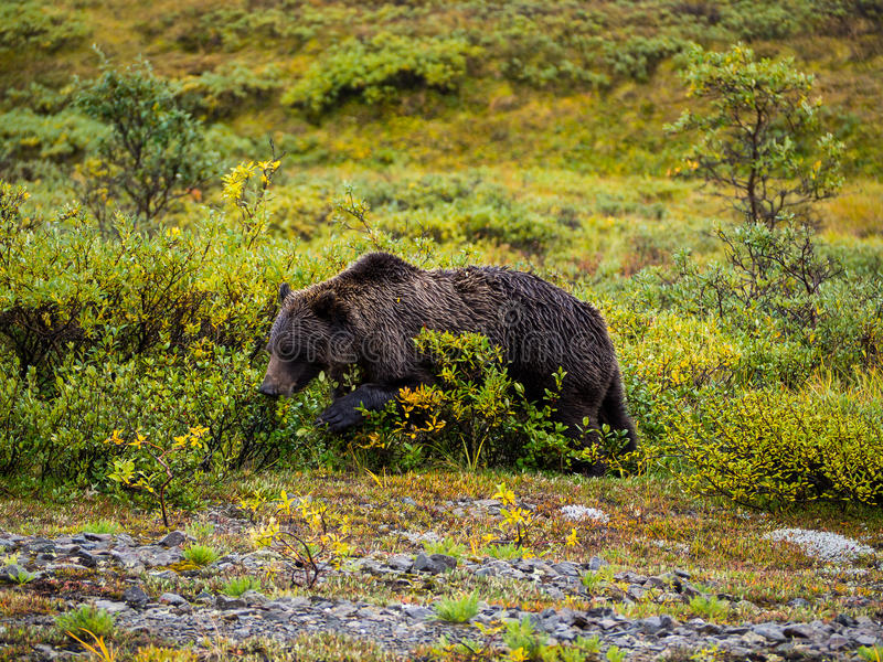 Grizzly in fresh green field stock image