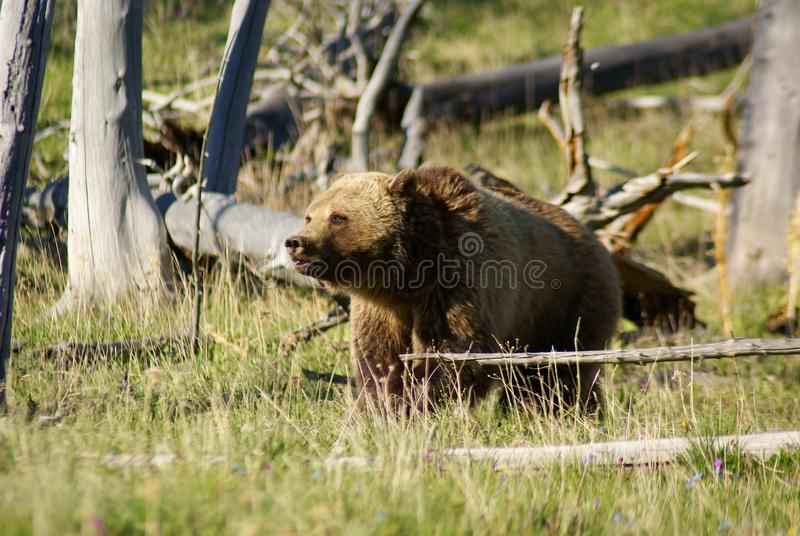Grizzly in the golden light royalty free stock images