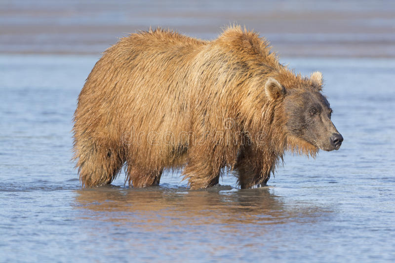 Grizzly Looking for Salmon in Estuary. In Hallo Bay in Katmai National Park stock photos