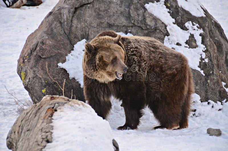 Grizzly in Montana Grizzly Bear Rescue stock afbeeldingen