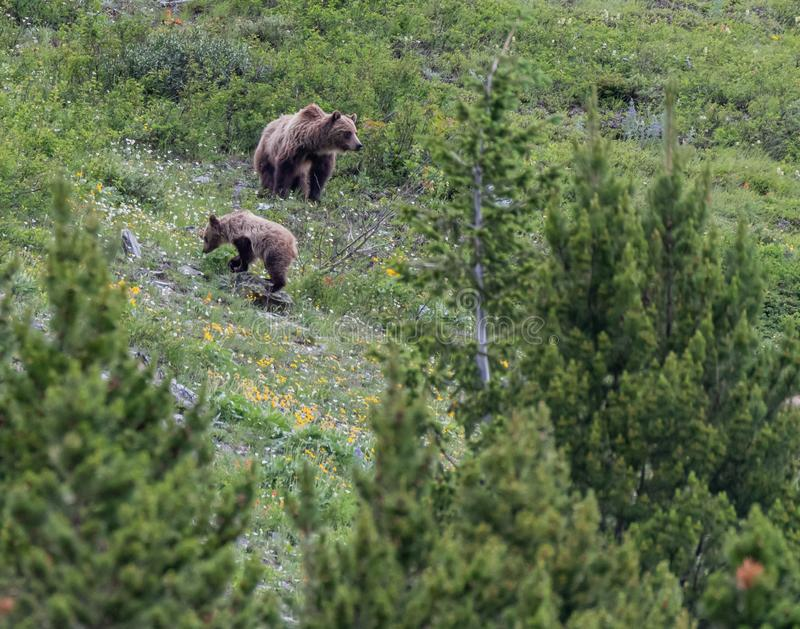 Grizzly Mother and Cub Through Trees royalty free stock images