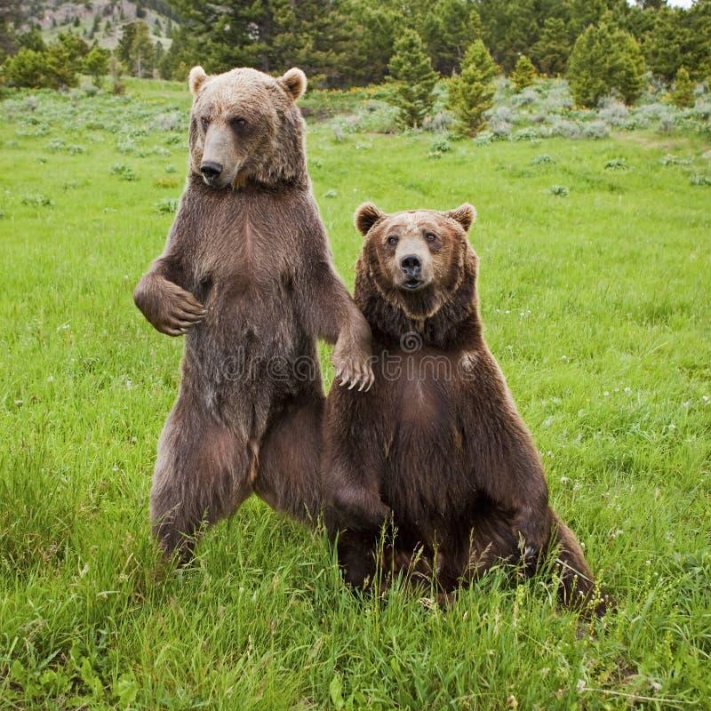 Grizzly Niedźwiadkowy arctos ursus zdjęcie stock