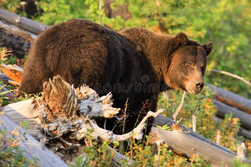 grizzly niedźwiadkowy park narodowy Yellowstone obrazy stock
