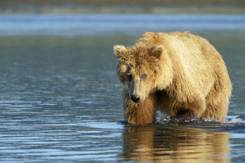 Grizzly niedźwiedź fotografia royalty free
