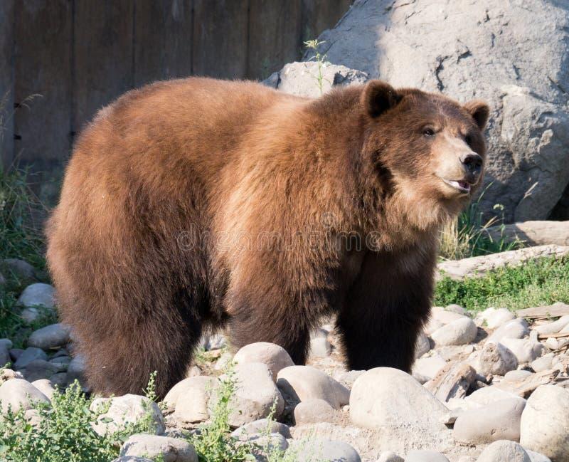 Grizzly niedźwiedź
