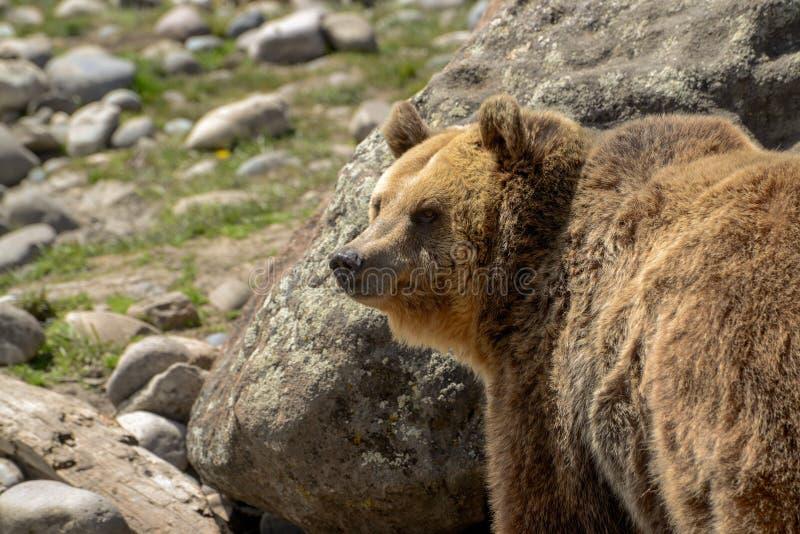 Grizzly niedźwiedź chodzi przez skalistej łąki zdjęcia stock