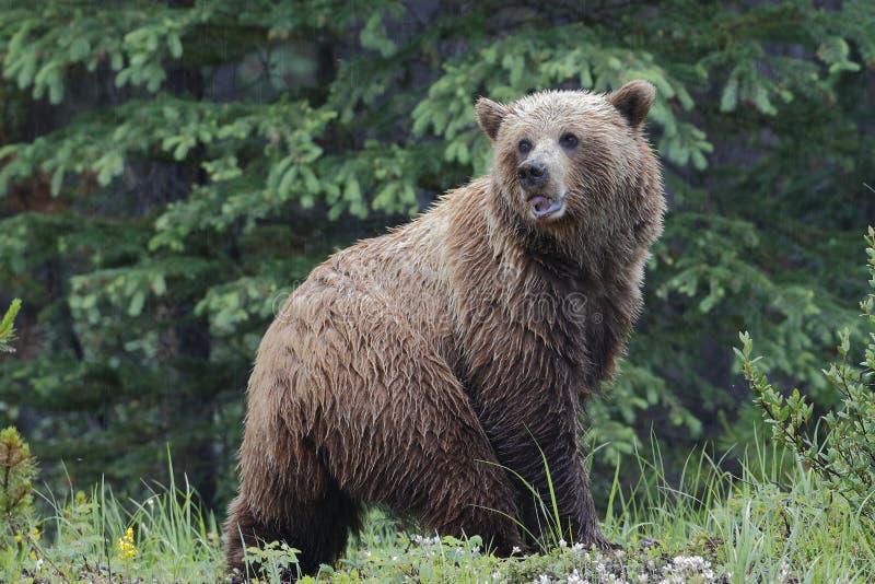 Grizzly niedźwiedź - Jaspisowy park narodowy obrazy stock
