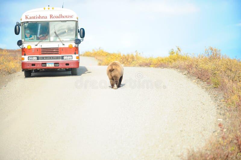 Grizzly niedźwiedź przechodzi autobus, Denali NP, Alaska, USA obraz royalty free