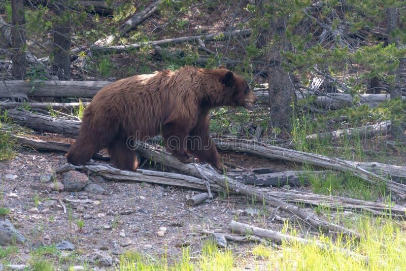 Grizzly niedźwiedź Tropi w Yellowstone parku narodowym zdjęcia royalty free