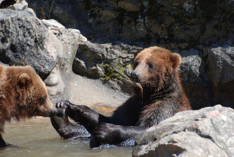 Grizzly niedźwiedź Trzyma dalej Jego cieki obrazy stock