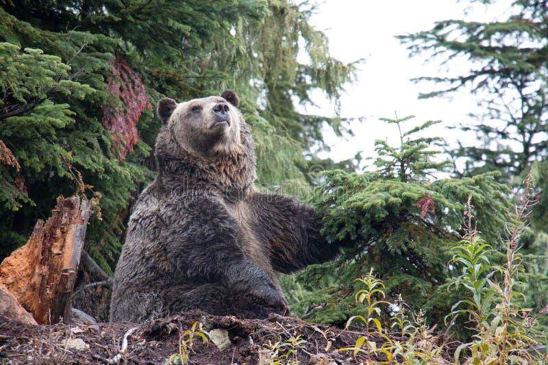 Grizzly niedźwiedź uderza pozę przy pardwy górą, kolumbiowie brytyjska zdjęcie royalty free