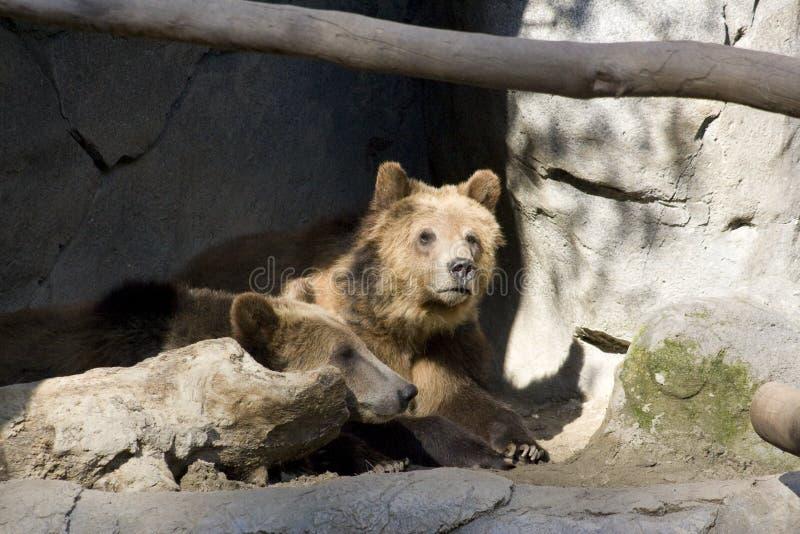 Grizzly niedźwiedź (Ursus arctos horribilis) obrazy stock