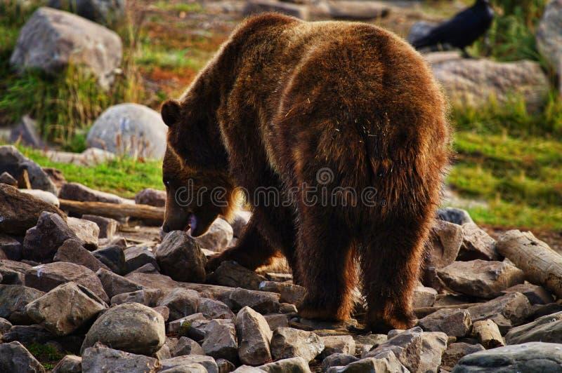Grizzly niedźwiedź, Ursus Arctos, Karmi obrazy stock