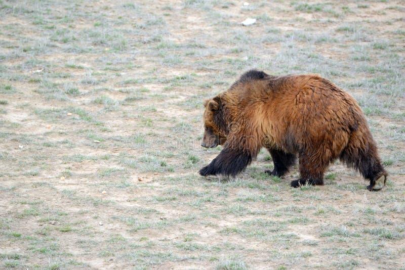 Grizzly niedźwiedź w otwartym polu zdjęcie royalty free