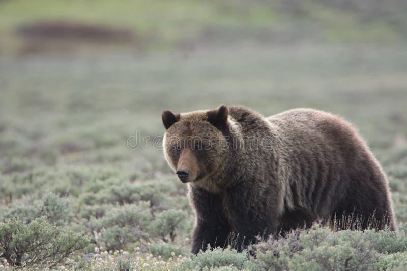 Grizzly niedźwiedź w Yellowstone parku narodowym obrazy stock