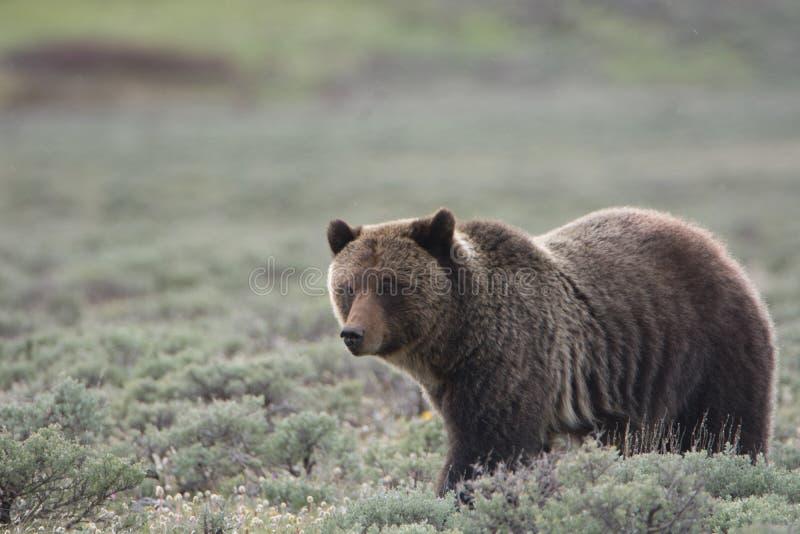 Grizzly niedźwiedź w Yellowstone parku narodowym zdjęcia stock