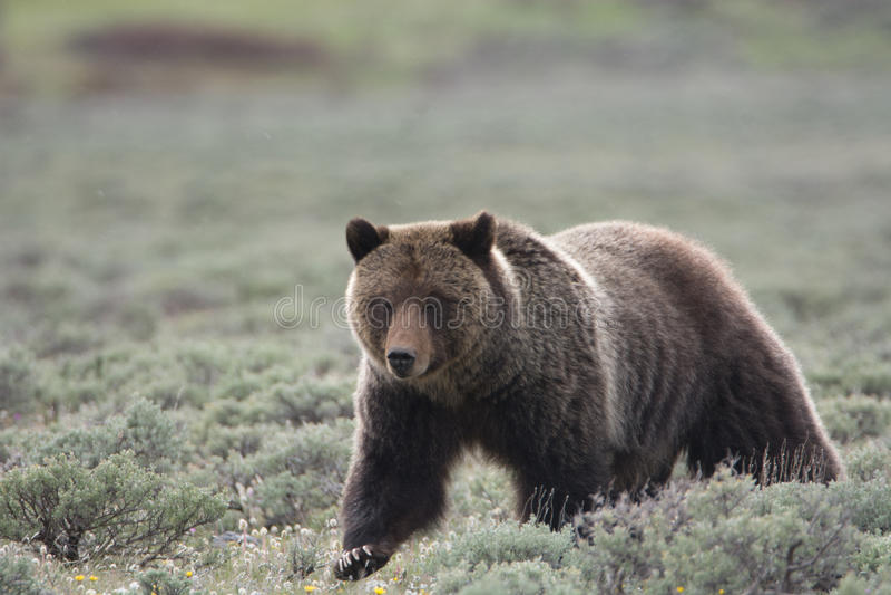 Grizzly niedźwiedź w Yellowstone parku narodowym zdjęcie stock