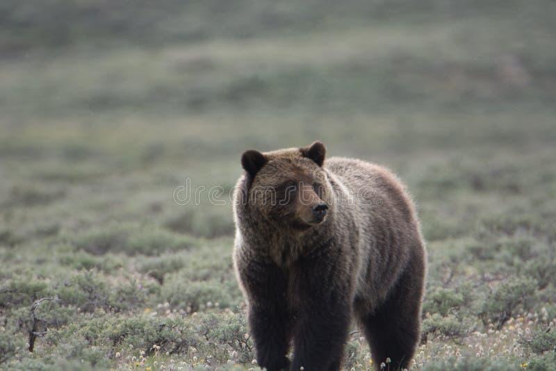 Grizzly niedźwiedź w Yellowstone parku narodowym obraz stock