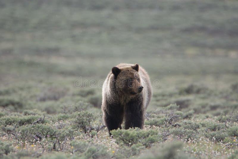 Grizzly niedźwiedź w Yellowstone parku narodowym fotografia stock