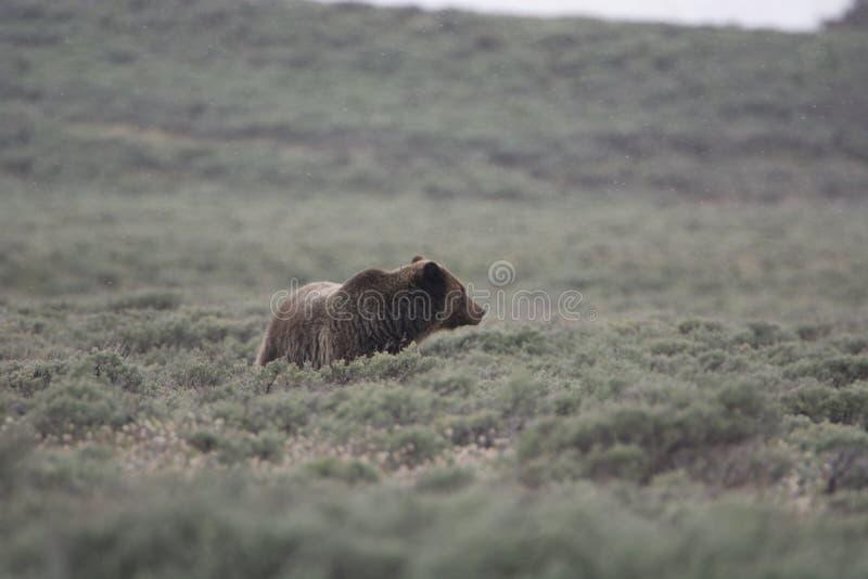 Grizzly niedźwiedź w Yellowstone parku narodowym obrazy royalty free