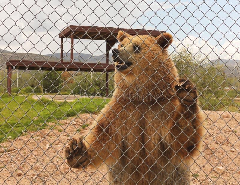 Grizzly niedźwiedź w zoo klatce fotografia royalty free