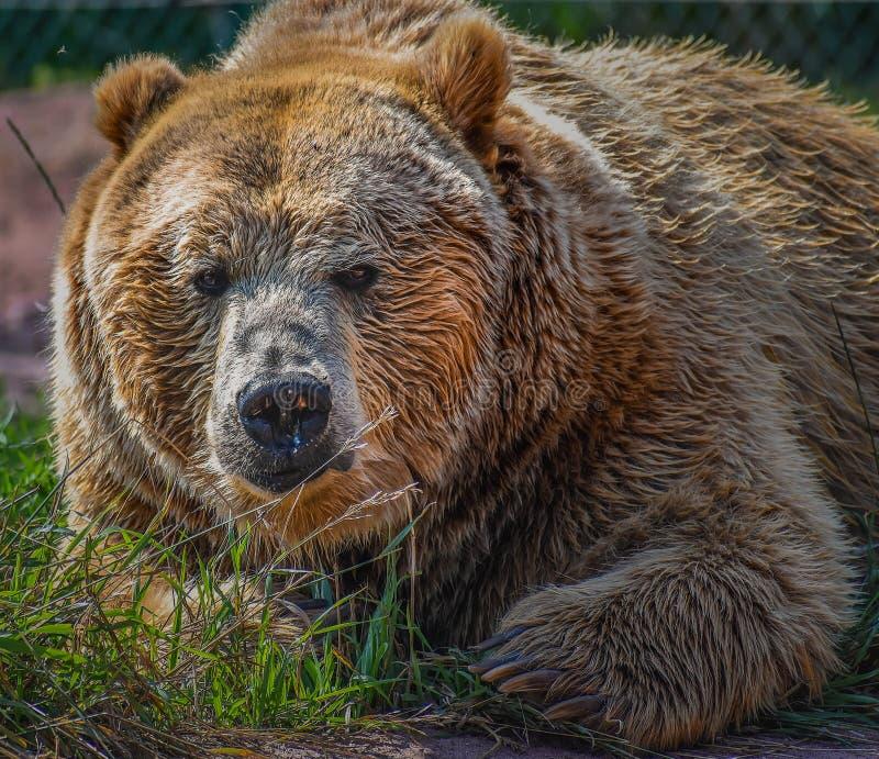 Grizzly niedźwiedź Zamknięty W górę portreta zdjęcia royalty free