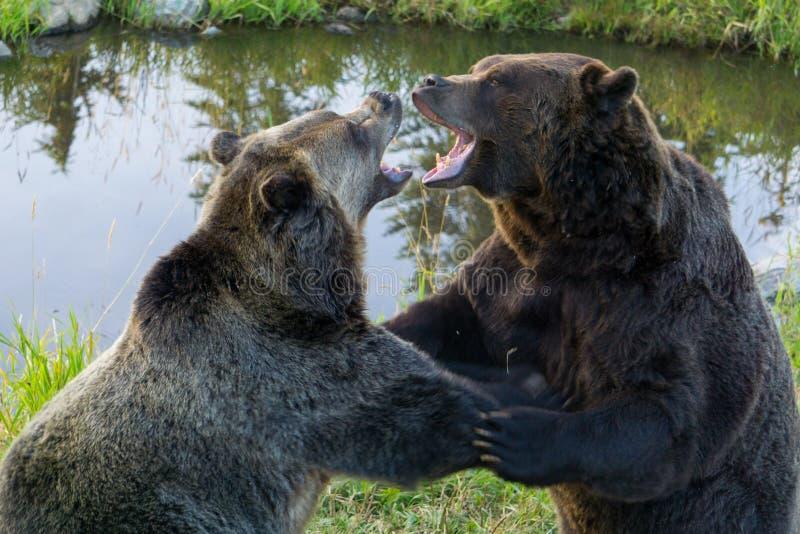 Grizzly niedźwiedzi walka fotografia stock