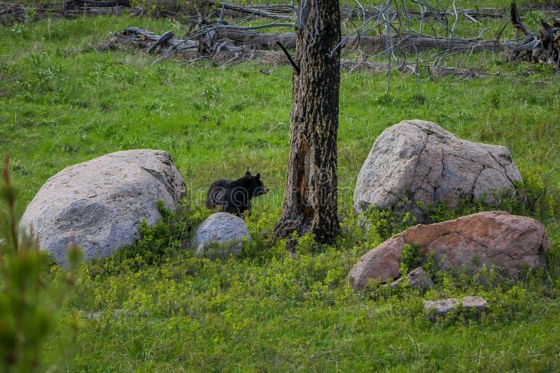 Grizzly niedźwiedzia locha w trawiastej łące blisko Norris obozowiska w Yellowstone parku narodowym zdjęcia royalty free