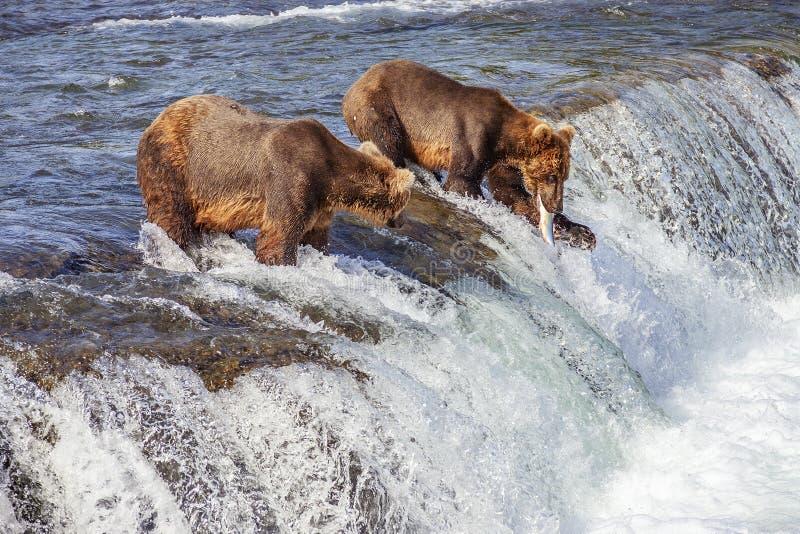 Grizzly niedźwiedzie Katmai NP fotografia royalty free