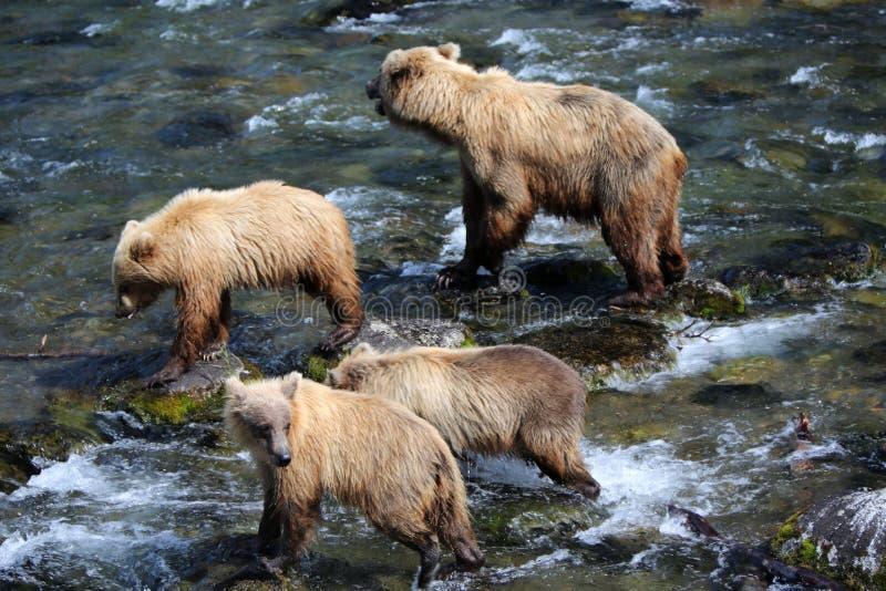 Grizzly niedźwiedzie rodzinni zdjęcie stock