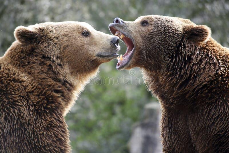 Grizzly niedźwiedzie w walce zdjęcie stock