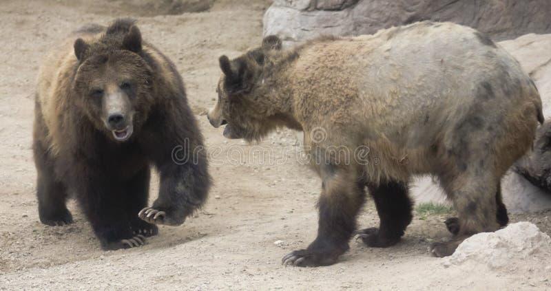 Grizzly para Przygotowywa Stawiać czoło Daleko fotografia stock