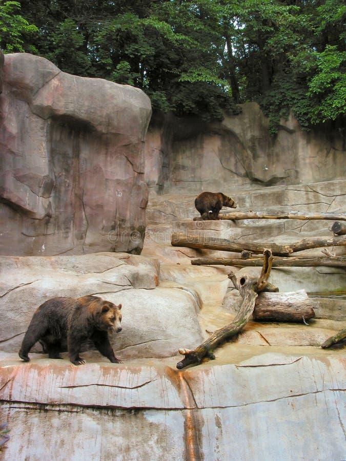 grizzly ponosi obrazy royalty free