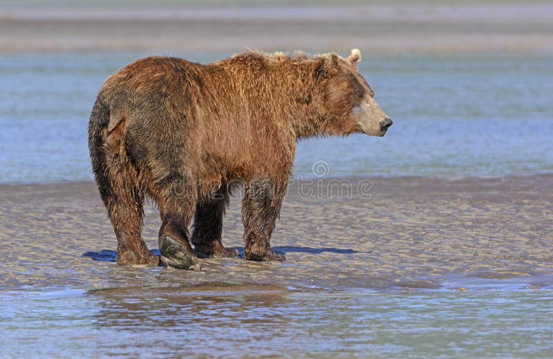 Grizzly Profile on a Mudflat. In Hallo Bay in Katmai National Park in Alaska stock photography
