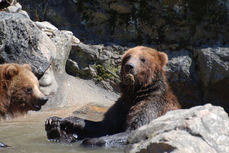 Grizzly Przekąsza na rzeczach Znajdują w rzece obraz stock