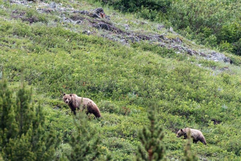 Grizzly roczniak i matka fotografia royalty free