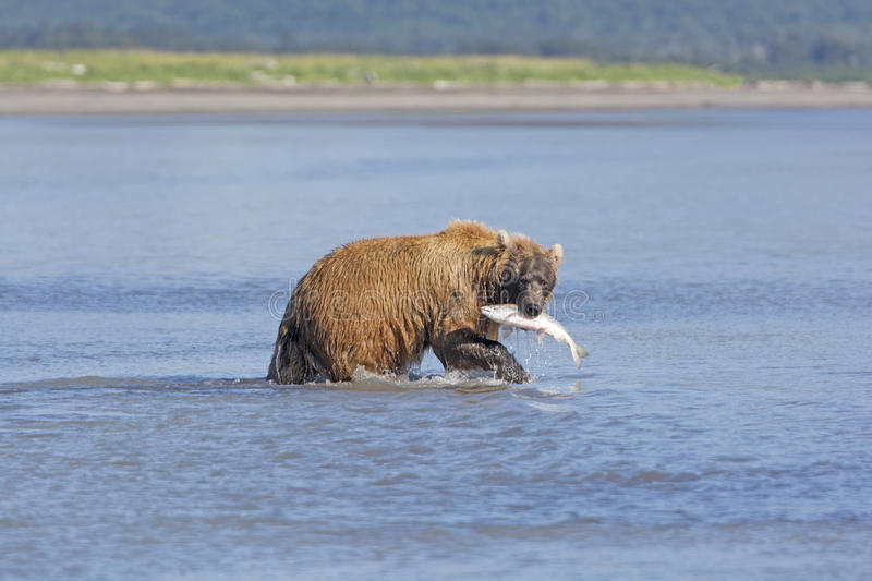 Grizzly with Salmon. In Hallo Bay in Katmai National Park in Alaska stock image