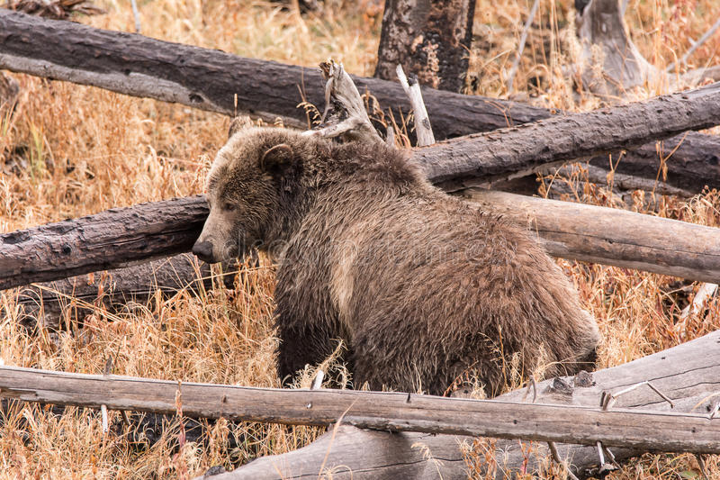 Grizzly Sow. Scrambling over fallen timber in search of edibles in preparation for winter hibernation royalty free stock photo