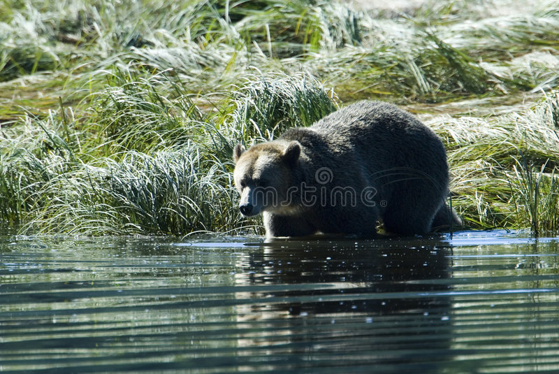 Download Grizzly Steps Into The Water Stock Photo - Image: 2351158