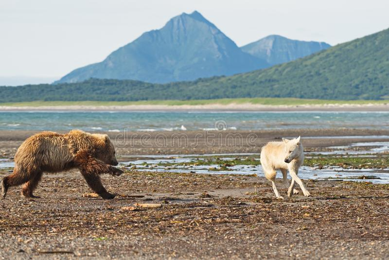 Grizzly ursu arctos charges wolf canis lupus in Katmai park royalty free stock photography