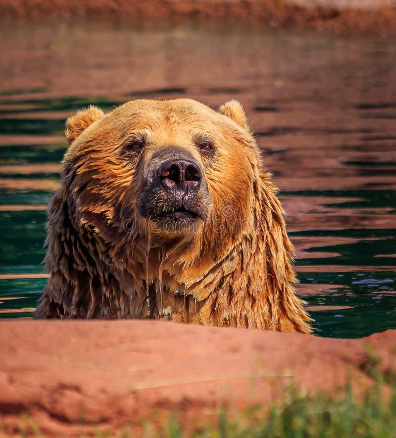 Grizzly in vijverwater met geconcentreerde starende blik stock afbeeldingen