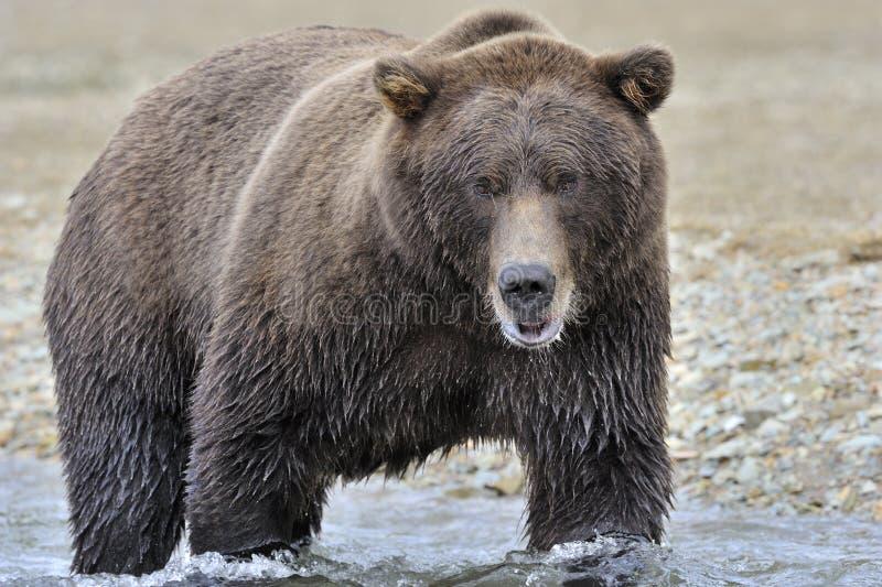 Grizzly visserij stock afbeeldingen