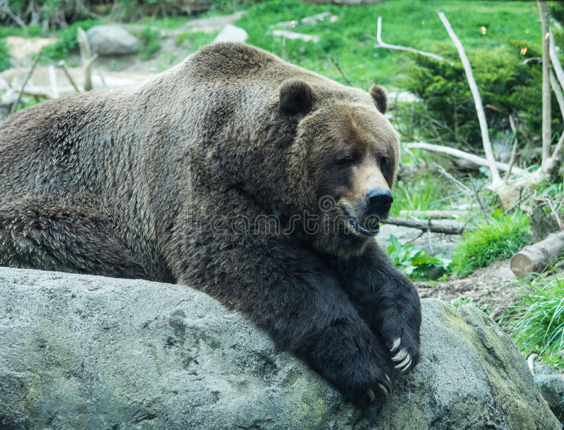 Grizzly Waiting for Food stock image