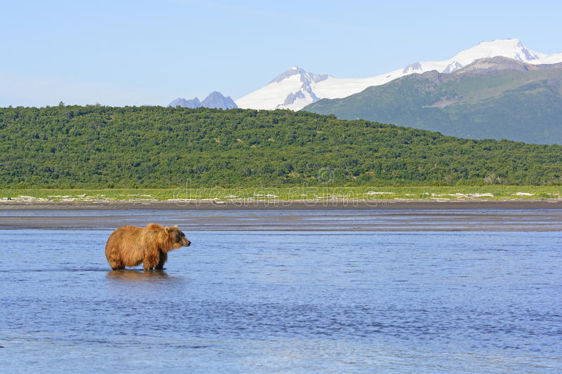 Grizzly Waiting for Lunch. In Hallo Bay in Katmai National Park in Alaska royalty free stock photography