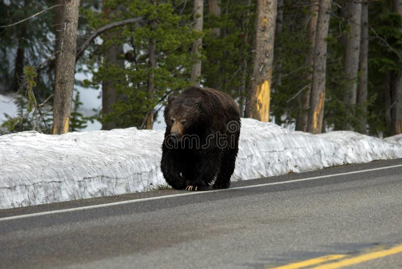 Grizzly Walking on the Street stock images
